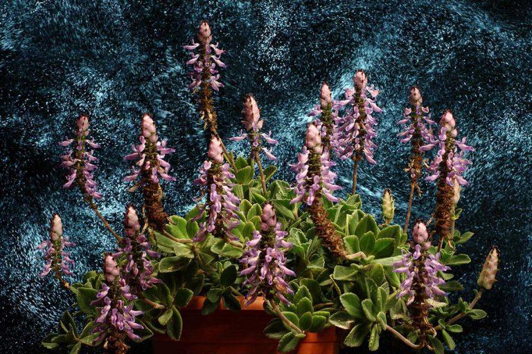 flores labiada macro lightpainting